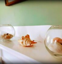 A seashell and 2 glass jars sit on a mantle